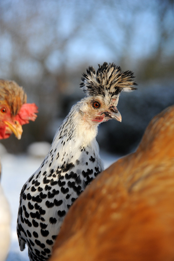 2015 02 03 chickens in the snow 02