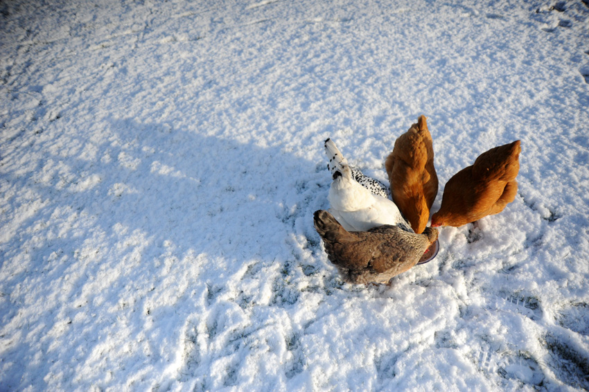 2015 02 03 chickens in the snow 03