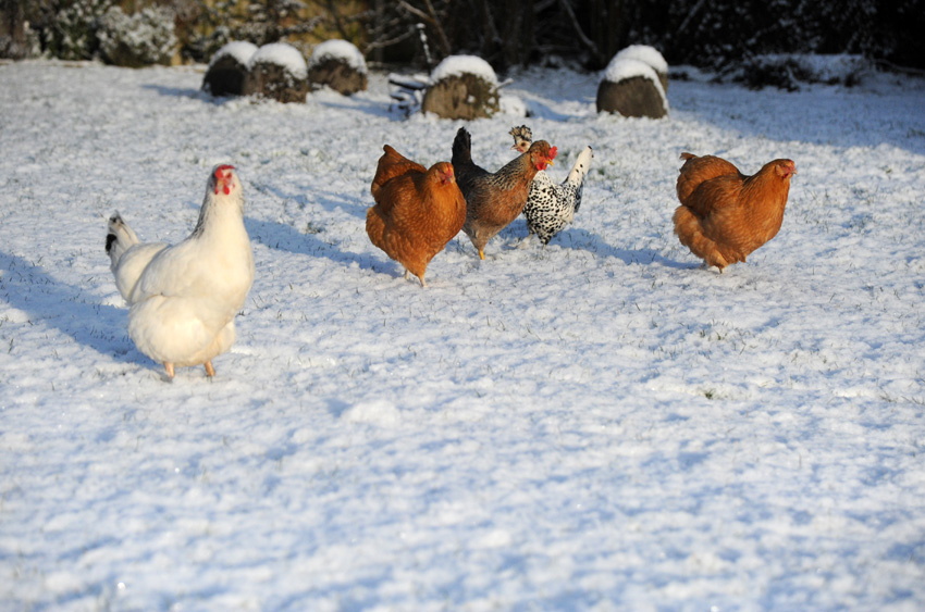 2015 02 03 chickens in the snow 05