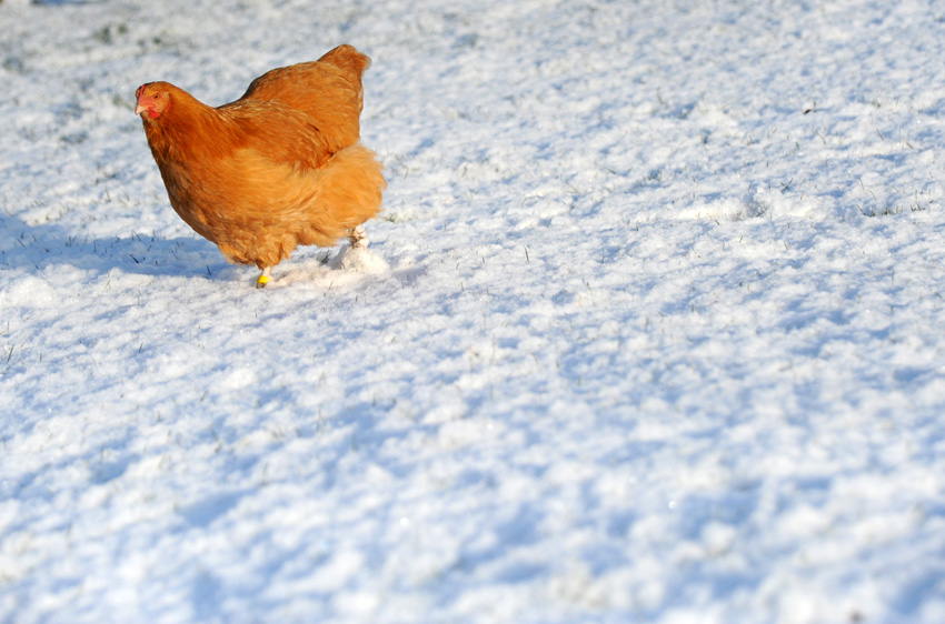 2015 02 03 chickens in the snow 06