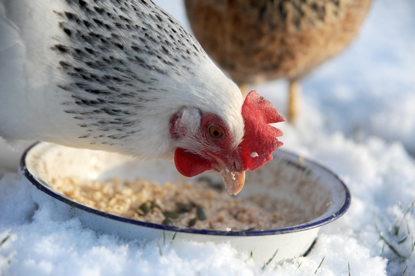2015 02 03 chickens in the snow 12