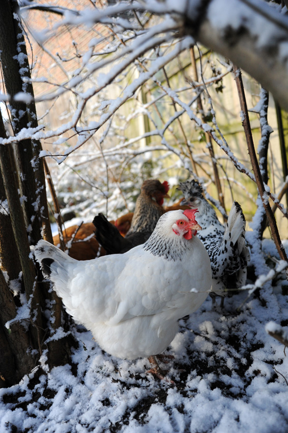 2015 02 03 chickens in the snow 16