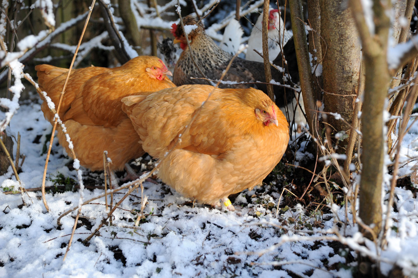 2015 02 03 chickens in the snow 17
