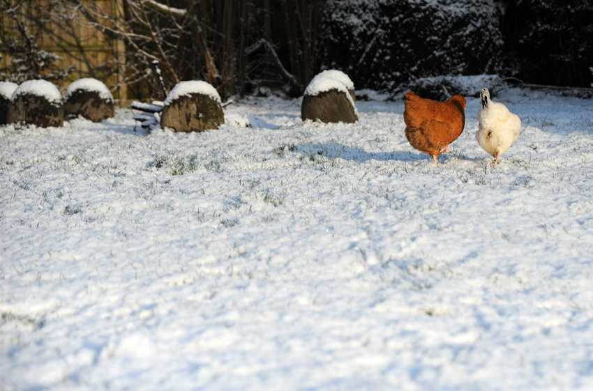 2015 02 03 chickens in the snow 23