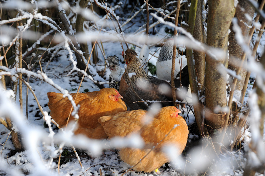 2015 02 03 chickens in the snow 25