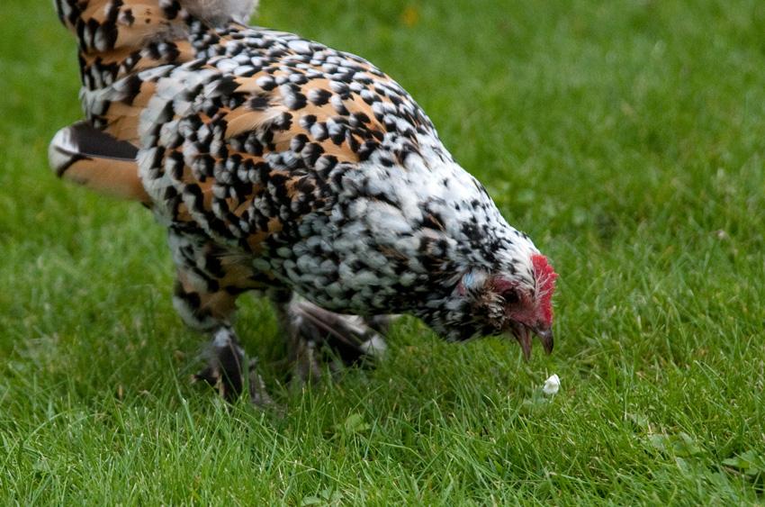 2015 09 05 chickens 03