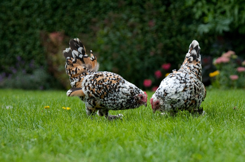 2015 09 05 chickens 22