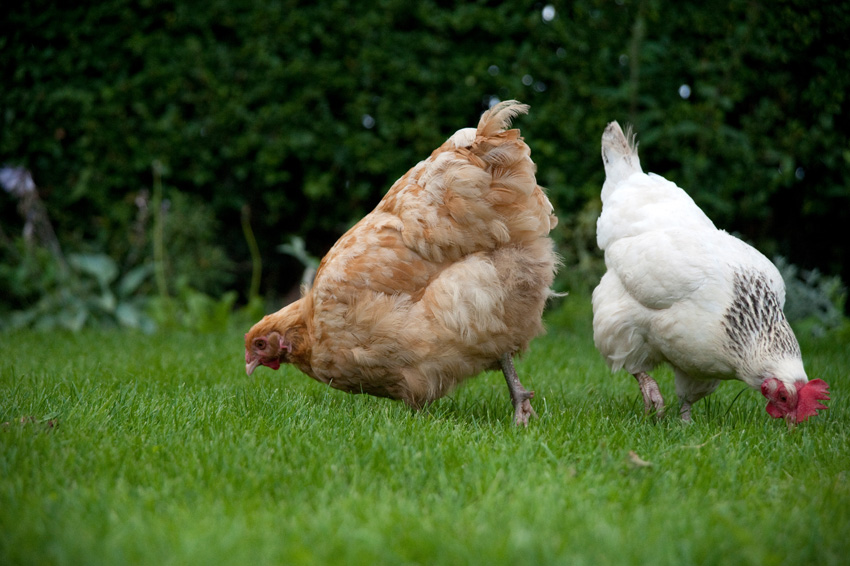 2015 09 05 chickens 27