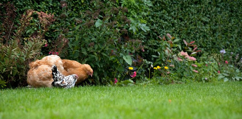 2015 09 05 chickens 33