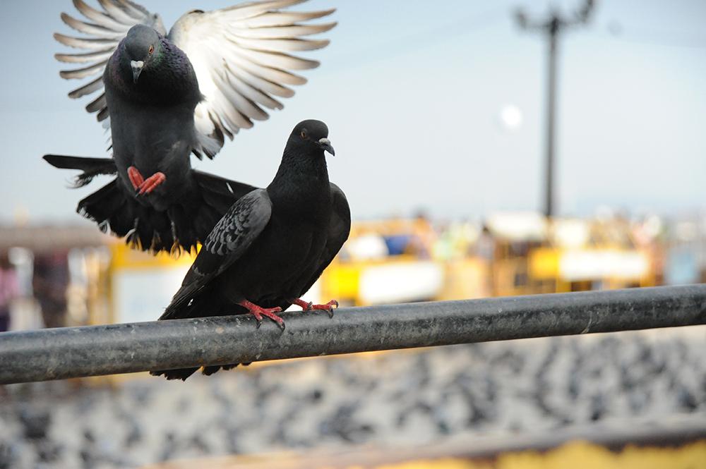 mumbai karen harvey loves pigeons